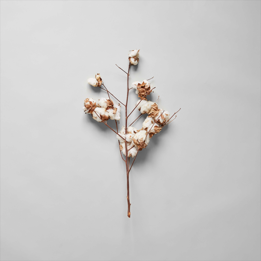 Cotton Stalk - Bloomist