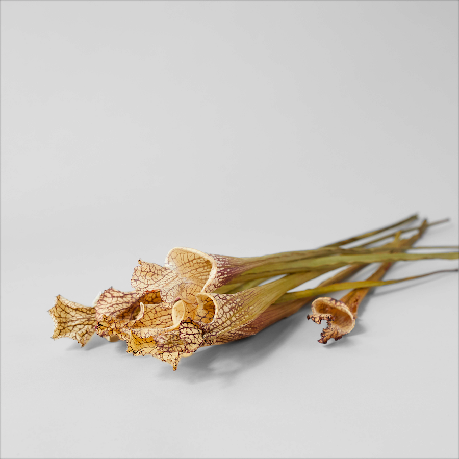 Dried Natural Sarracenia - Bloomist
