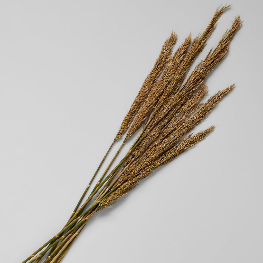 Dried Plume Reed, Natural - Bloomist