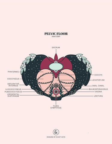 Illustration of the pelvic floor.