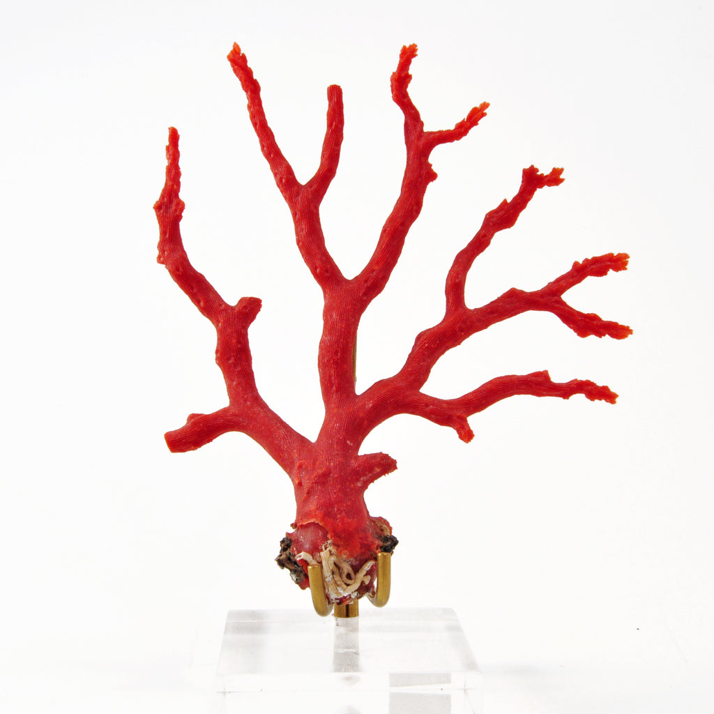 Red Coral 4.5 inch 21.9 gram Branch