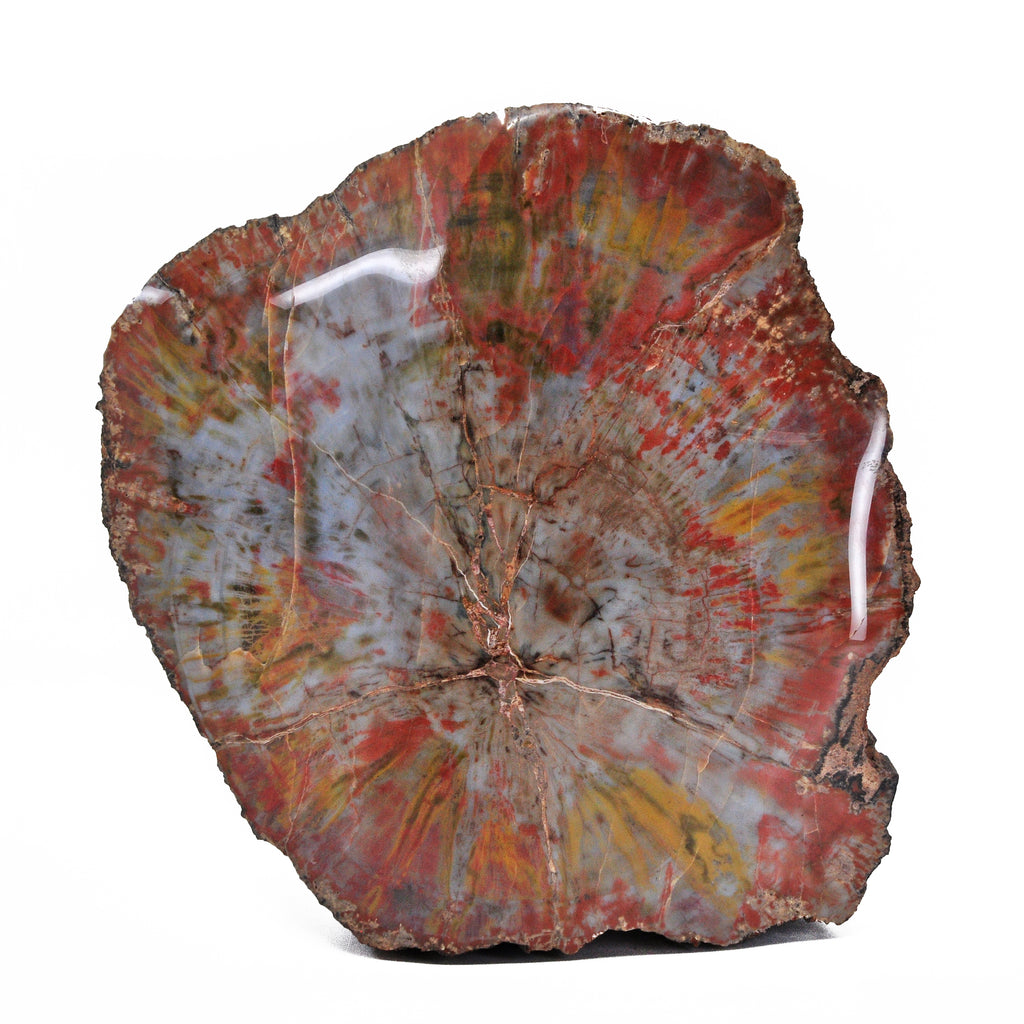 Petrified Wood 11 inch 31.5 lb Partial Polished Specimen - Arizona