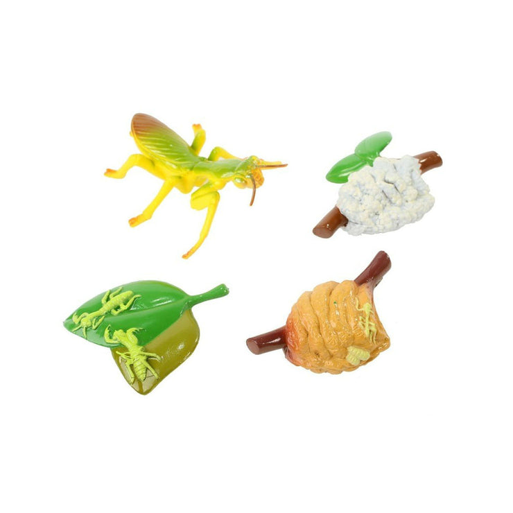 Praying Mantis Life Cycle Stages | Field Museum Store