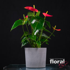 Anthurium (Current Plants are Twice as Large As Pictured Plant)