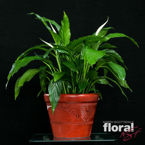 Spathiphyllum Lily (Peace Lily)