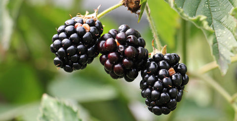 Blackberries-herbal-medicine