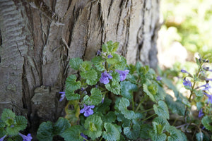 Ground Ivy (Dried) - Glechoma hederacea
