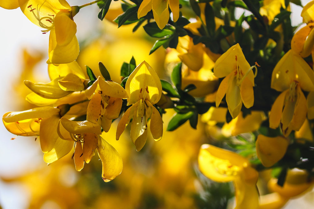 Broom Flower (Dried) - Cytisus scoparius