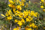 Gorse Flower (Dried) - Ulex Europaeus