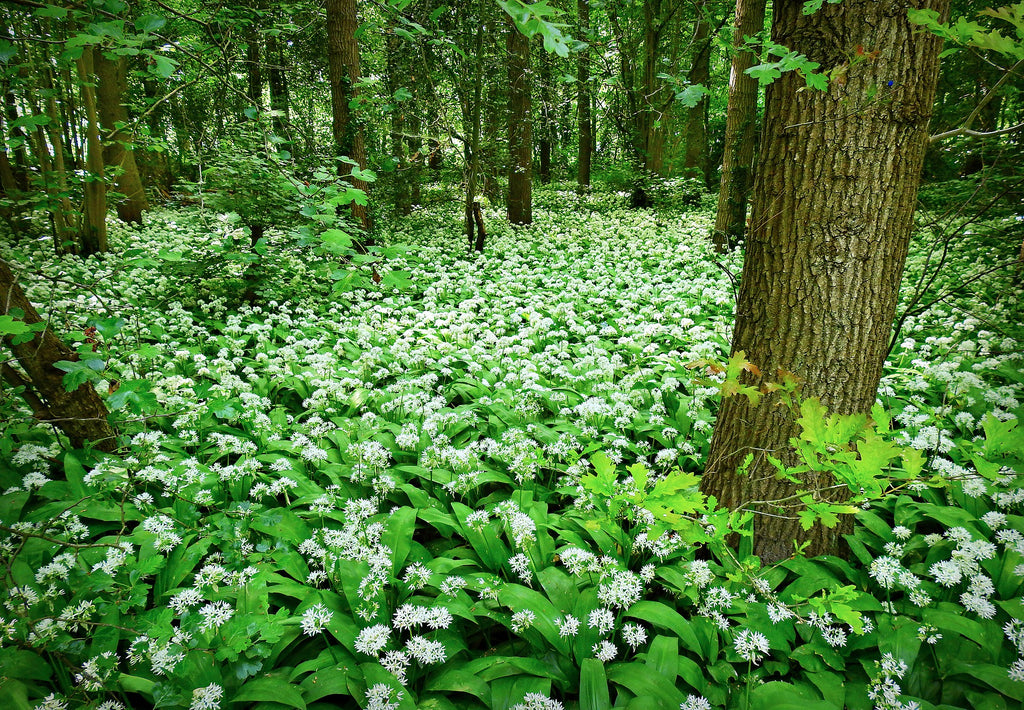 Wild Garlic (Dried) - Allium ursinum