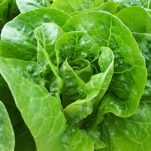 Load image into Gallery viewer, Cos lettuce head from Thymebank Marlborough NZ
