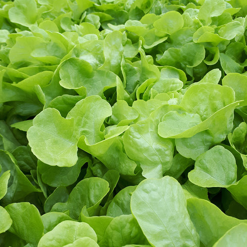 Green Oak lettuce head from Thymebank Marlborough NZ