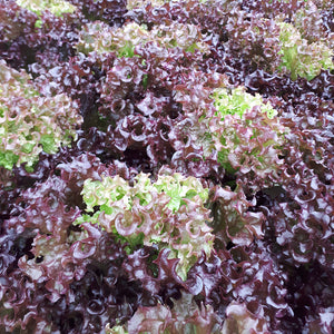 Red Frill lettuce head from Thymebank Marlborough NZ
