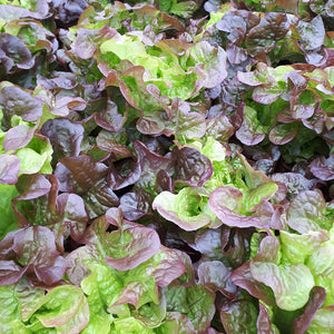 Red Oak lettuce head from Thymebank Marlborough NZ