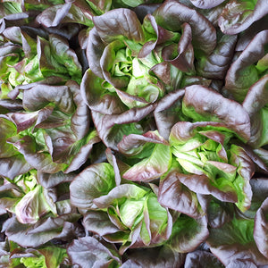 Salanova lettuce head from Thymebank Marlborough NZ