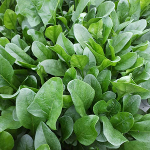 Spinach from Thymebank Marlborough NZ