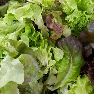 Mixed Lettuce from Thymebank Marlborough NZ