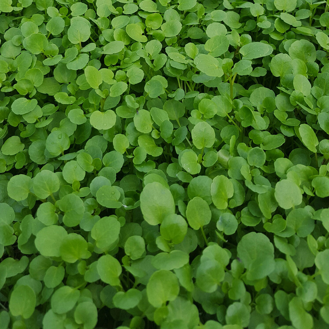 Watercress from Thymebank Marlborough NZ