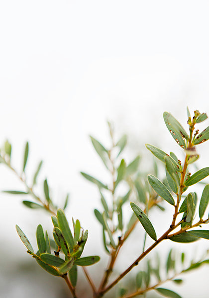 Little Olive Bonshaw Foliage