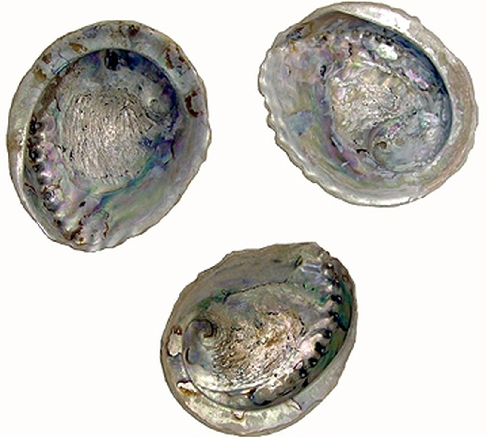Whole Abalone shells ( Individual)