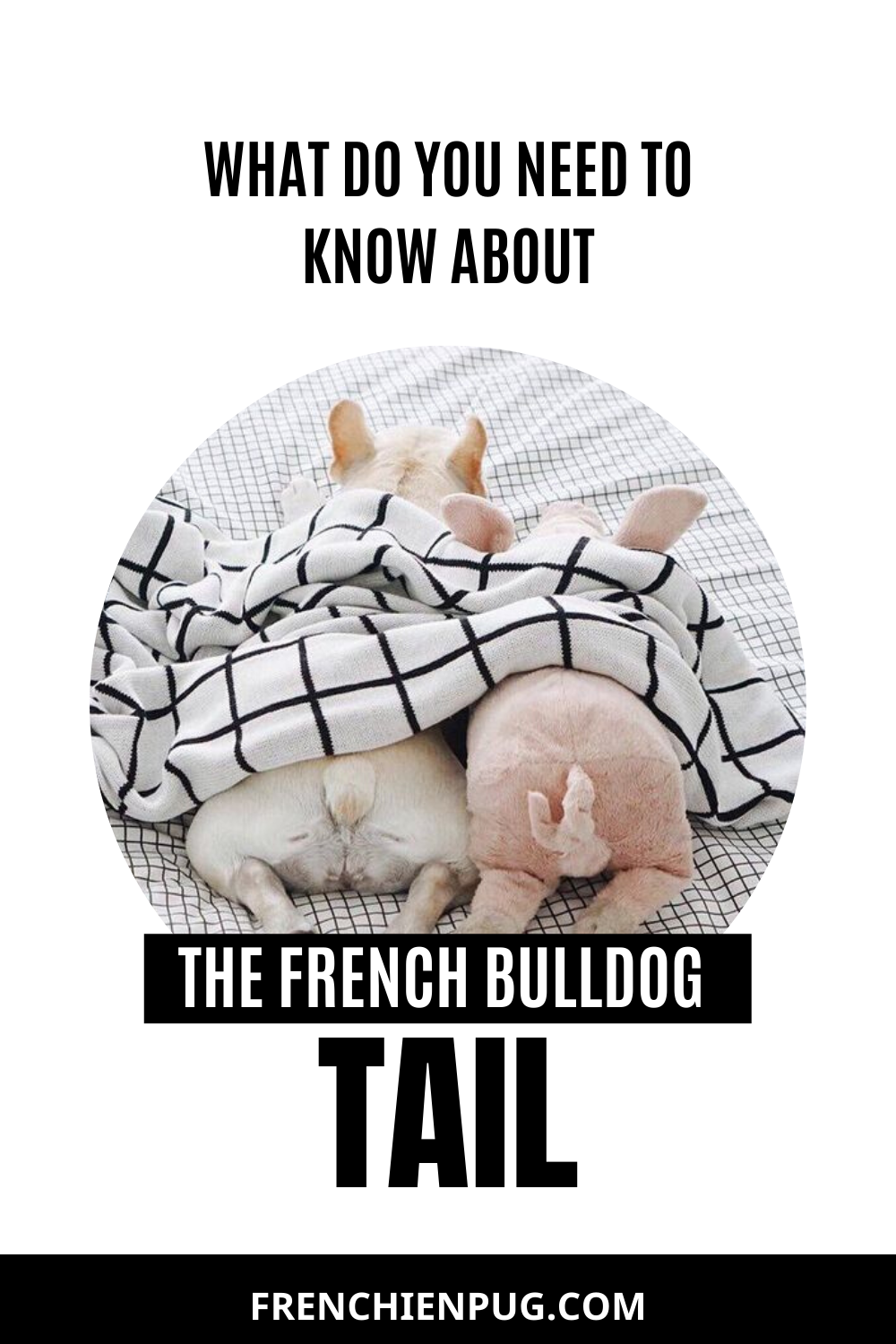 What do you need to know about the French bulldog tail?