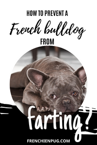 How to prevent a French bulldog from farting?