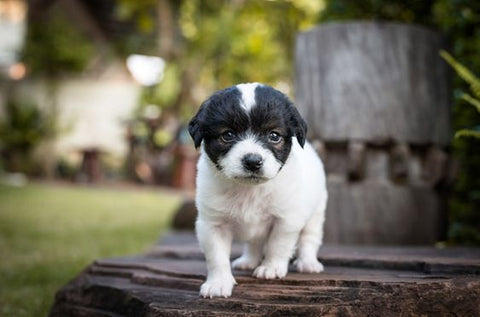 black and white puppy walking