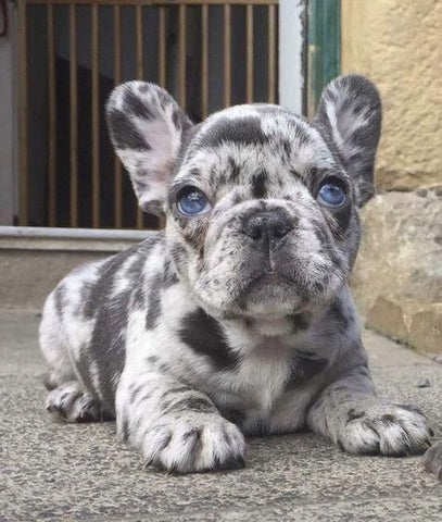 white and gray spot frenchie puppy