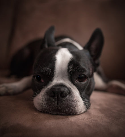 french bulldog temper