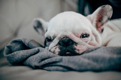 french bulldog sleepy