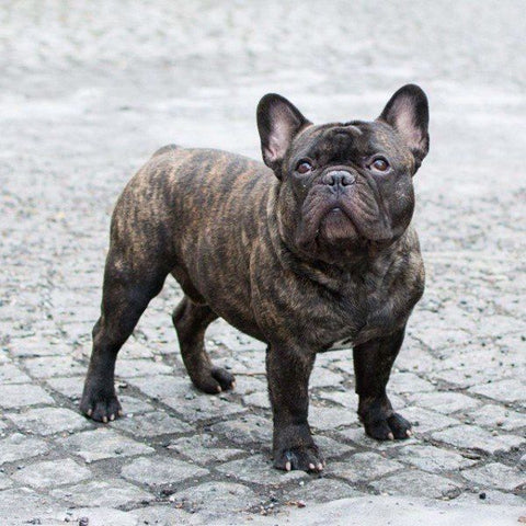 brindle coat french bulldog