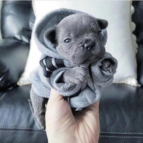 french bulldog baby wearing clothes
