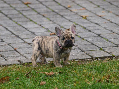 Tiger brindle Frenchie
