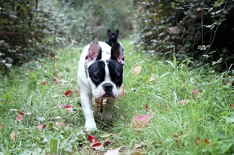 french bulldog in the backyard