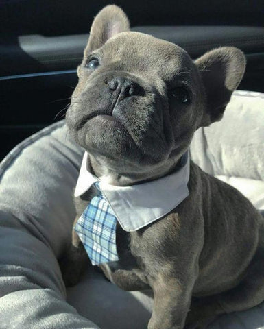 french bulldog with collar