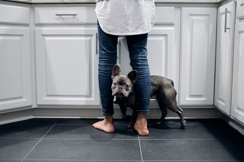 french bulldog on the floor