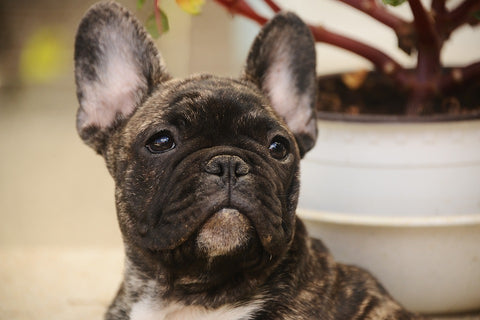 Image of Brindle Frenchie