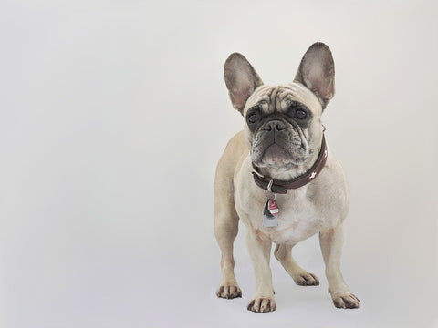 Image of Fawn Frenchie