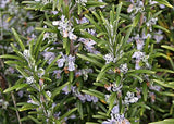 Rosemary (Rosmarinus officinalis) 1oz