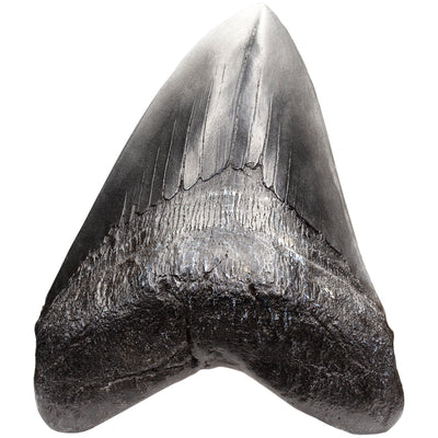 Master Replicas Megalodon Tooth Dinosaur Fossil Replica and Collectible Educational Home School Supplies