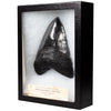 Megalodon Tooth Dinosaur Fossil Replica and Collectible