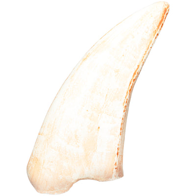 Dinsosaur Broken t-rex tooth fossil replica and collectible educational home school supplies