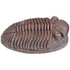 MR Trilobite Fossil Replica in Riker Box