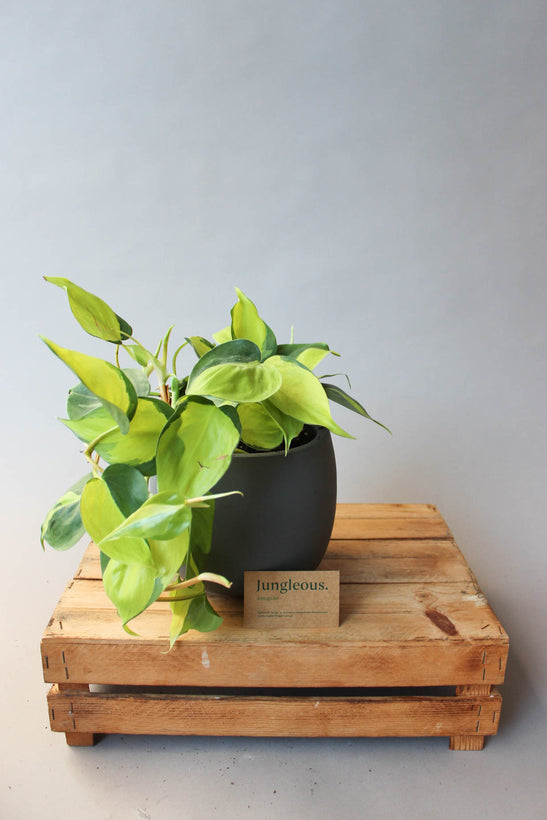 Philodendron Ailesi