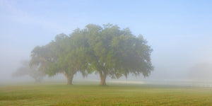 A photo of a pair of live oak trees on a foggy morning