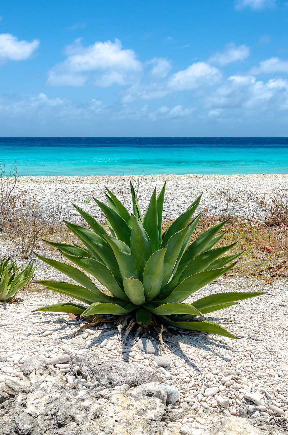A photo of an Aloe plant by the sea in Bonaire.