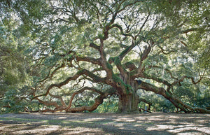 A photo of the Angel Oak Tree
