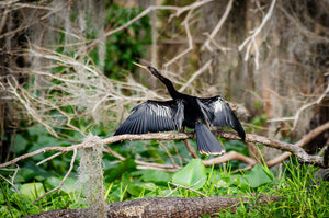 A photograph of an Anhinga drying it's wings