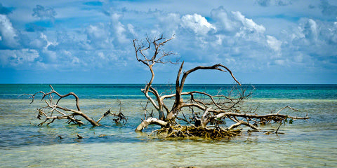 A photo of a large black mangrove driftwood in the water at Anne's Beach in Florida Keys