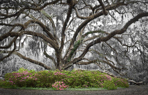 A photo of a live oak tree with azaleas